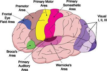 Primary Motor and Somatosensory Cortexes - Brain Components